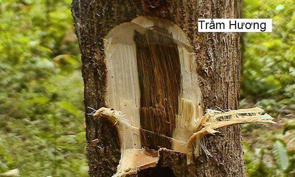 Trầm hương được tạo thành trên cây dó bầu