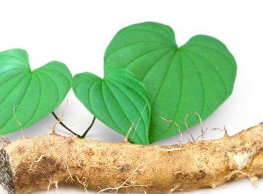 Cây thảo dược: cây khoai mỡ