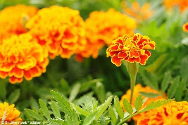 Cây thảo dược: Cúc vạn thọ
