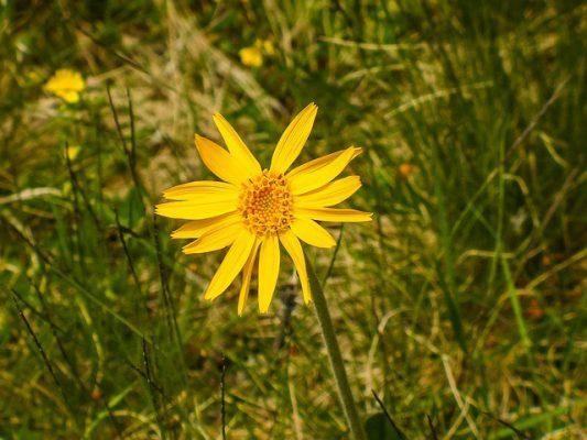 Cây thảo dược:Hoa kim sa Arnica