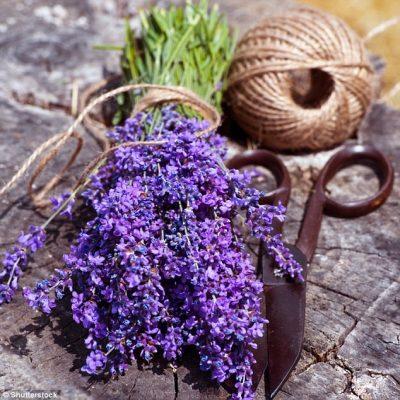 Cây thảo dược: Hoa oải hương