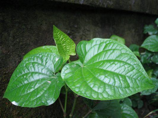 Cây thuốc nam - cây lá lốt