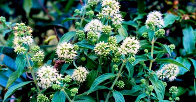 Cây thuốc nam trị bệnh dạ dày: cây dạ cẩm
