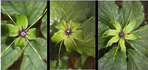 Bảy lá một hoa 1