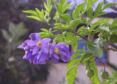Cà dại hoa tím 1