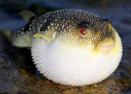 Cá nóc 1