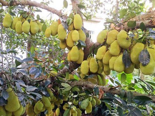 Toàn bộ cây mít đều được sử dụng để chữa bệnh.