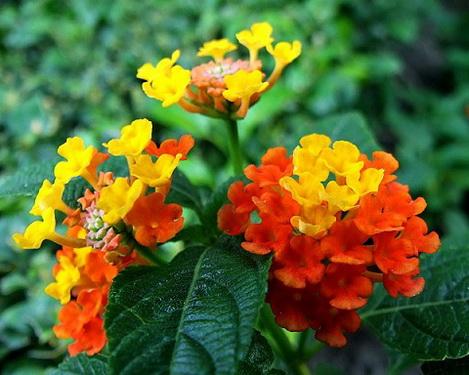 Hoa ngũ sắc (cây cỏ hôi) là vị thuốc tốt trị viêm tai giữa mạn tính.