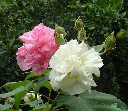 Hoa phù dung giúp chữa nhiều bệnh.