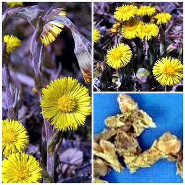 Khoản đông hoa phối hợp với cúc hoa nhuận phế, giảm ho.