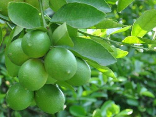 Quả và lá chanh là gia vị rất quen thuộc, các bộ phận của cây chanh đều được dùng làm thuốc.